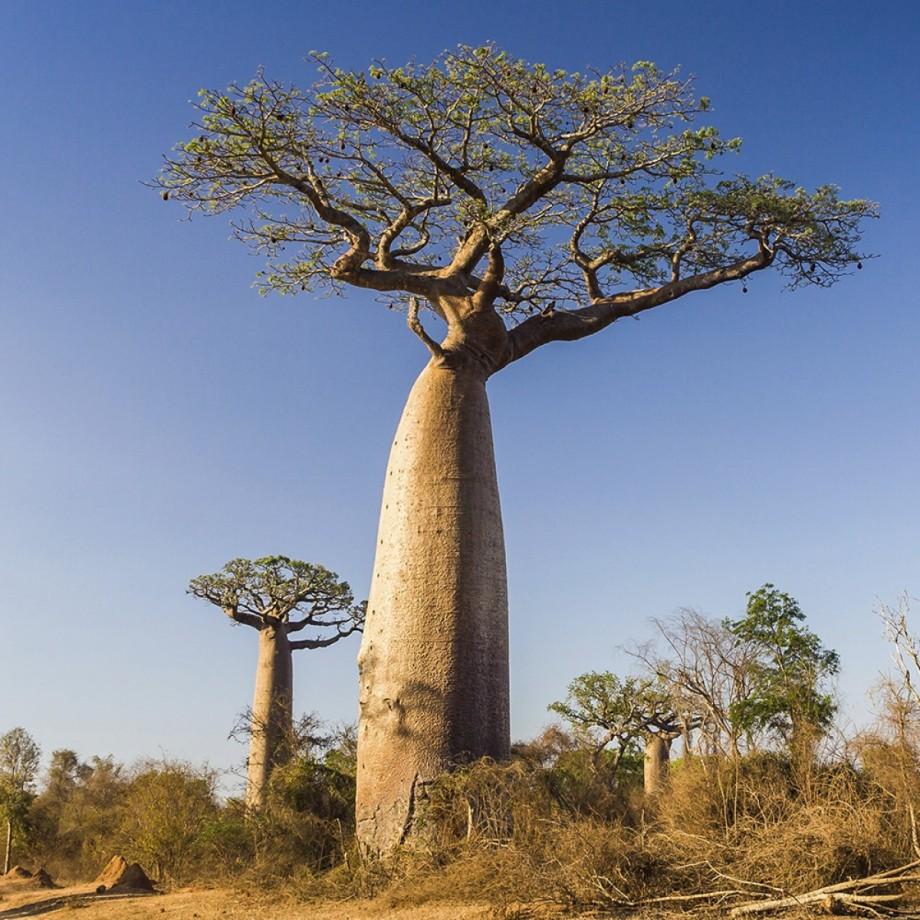 baobab-tree1000x1000_1